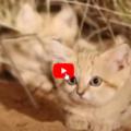 Marocco, ripresa per la prima volta famiglia di gatti delle sabbie