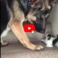 Il gattino ha difficoltà a salire le scale, il cane è tenerissimo con lui