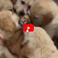 Cuccioli di golden retriever riempiono di baci un gatto rosso