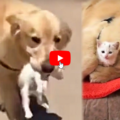 Un dolcissimo Golden Retriever salva e porta a casa un gattino smarrito