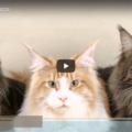I gatti e le loro razze