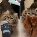 Gatto è così felice di essere stato adottato che ogni mattina porta le pantofole al suo umano