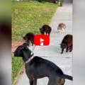 Il cane va a passeggio, ma non ha fatto i conti con la banda dei gatti