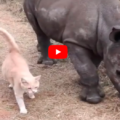 Un gatto e un cucciolo di rinoceronte sono i migliori amici