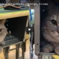 Ba Dun, il gatto che non vuole stare a casa da solo e la studentessa lo nasconde sotto il banco