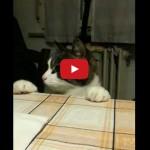 Il gatto Gigio brontola quando gli dici basta con la pappa