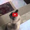 Gatto rientra a casa e parla con la sua mamma umana.