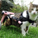 Una gatta con sedia a rotelle..adotta dei gattini!